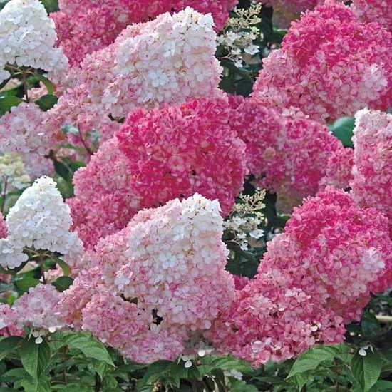 Buddleja davidii LILAC CHIP Proven Winners® (PBR) - photo 12