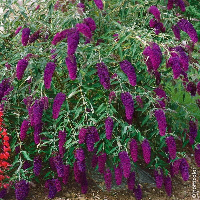 Buddleja davidii LILAC CHIP Proven Winners® (PBR) - photo 19