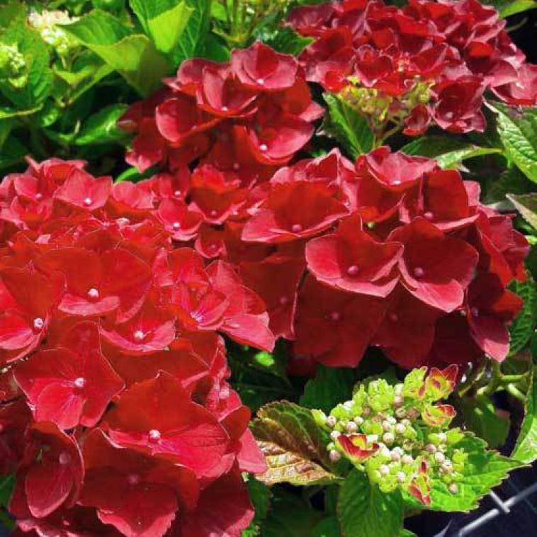 Hydrangea macrophylla Endless Summer® THE BRIDE (PBR) - photo 60