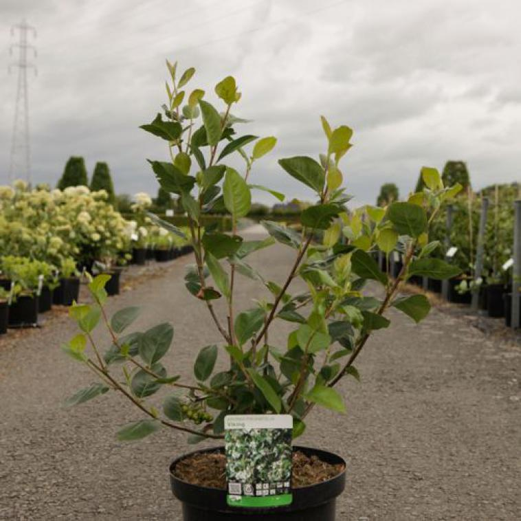 Buddleja davidii LILAC CHIP Proven Winners® (PBR) - photo 59