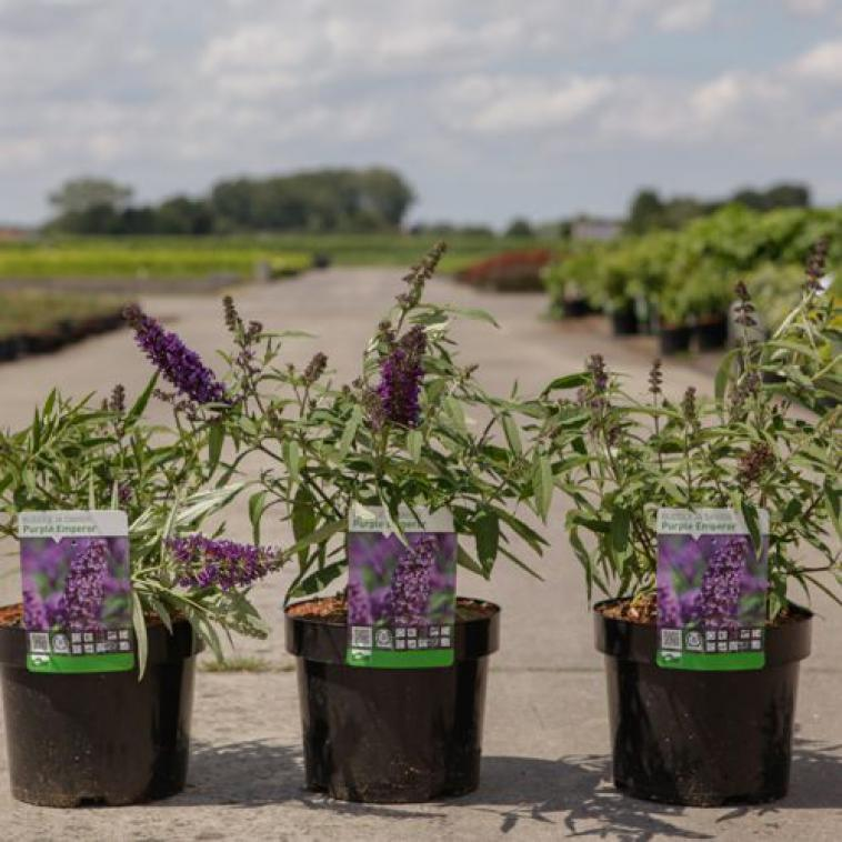 Buddleja davidii LILAC CHIP Proven Winners® (PBR) - photo 57