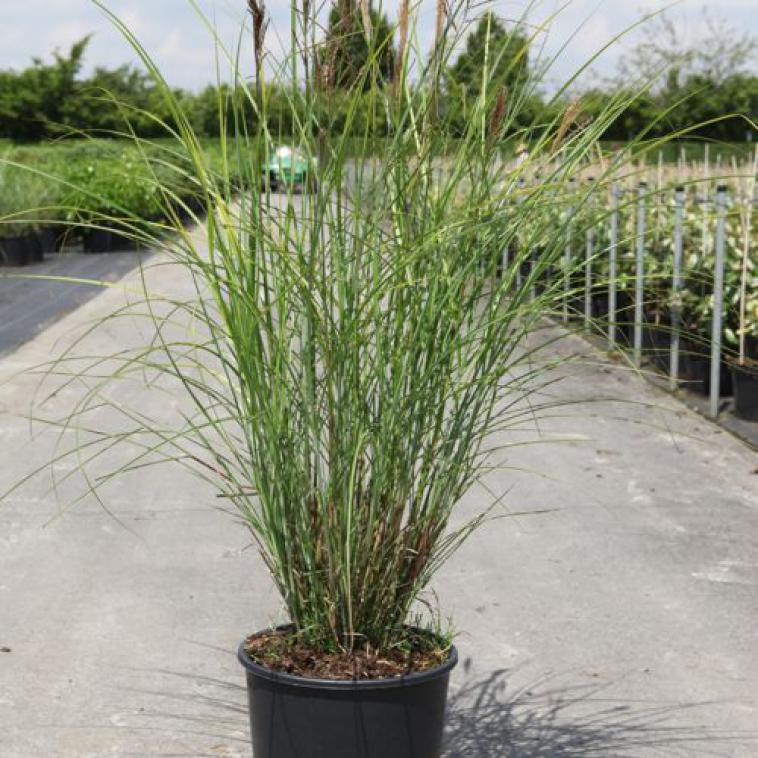 Miscanthus sinensis 'Gracillimus' - photo 53