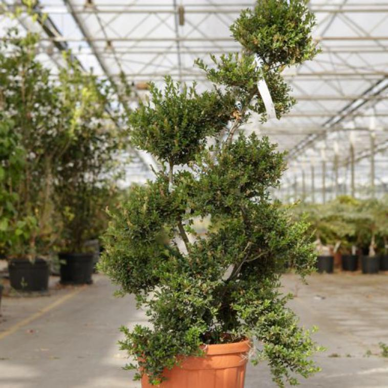 Laurus nobilis - photo 62