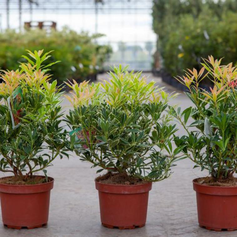 Pieris japonica 'Flaming Silver' - photo 53