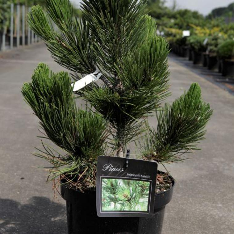 Pinus strobus 'Tiny Kurls' - photo 57