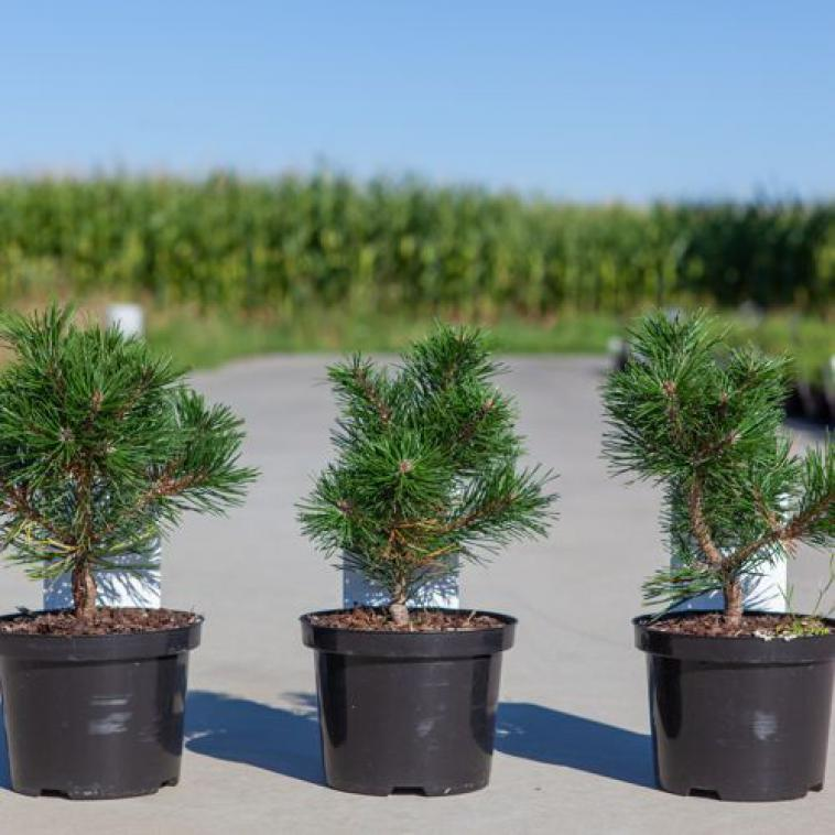 Pinus strobus 'Tiny Kurls' - photo 59