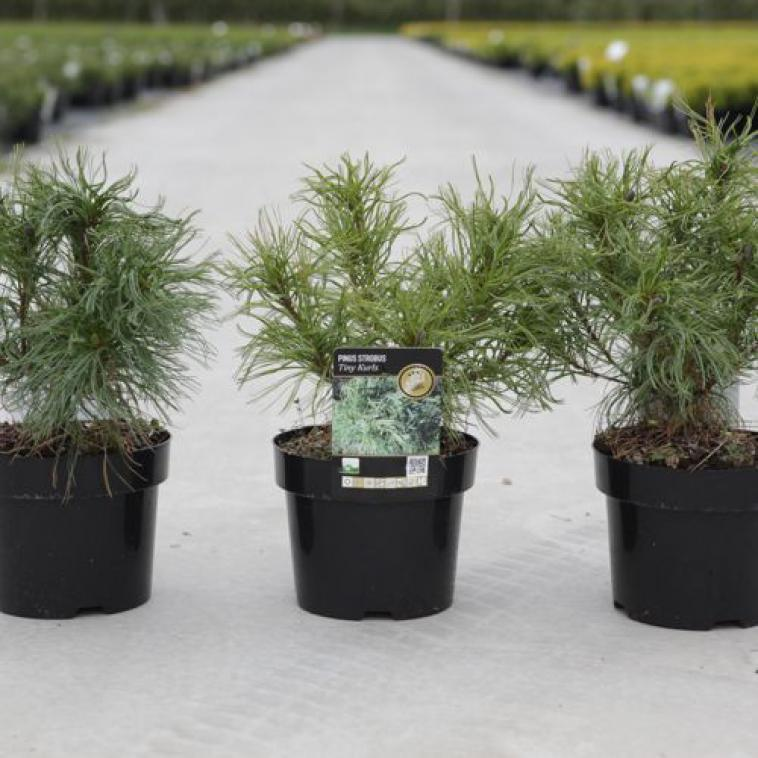 Pinus strobus 'Tiny Kurls' - photo 53