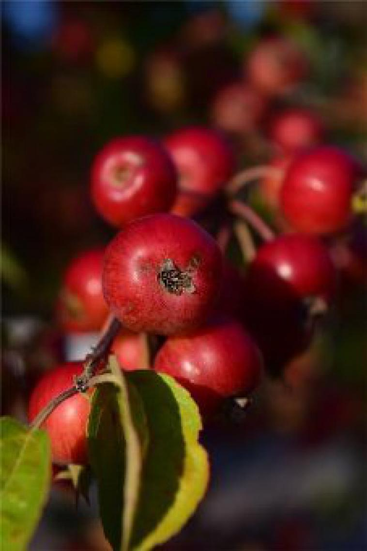 Malus Red Sentinel - photo 53