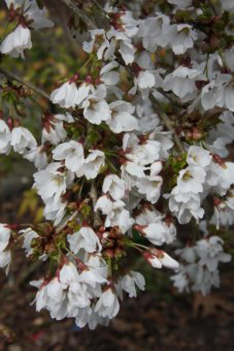 Prunus incisa Frilly Frock - photo 53