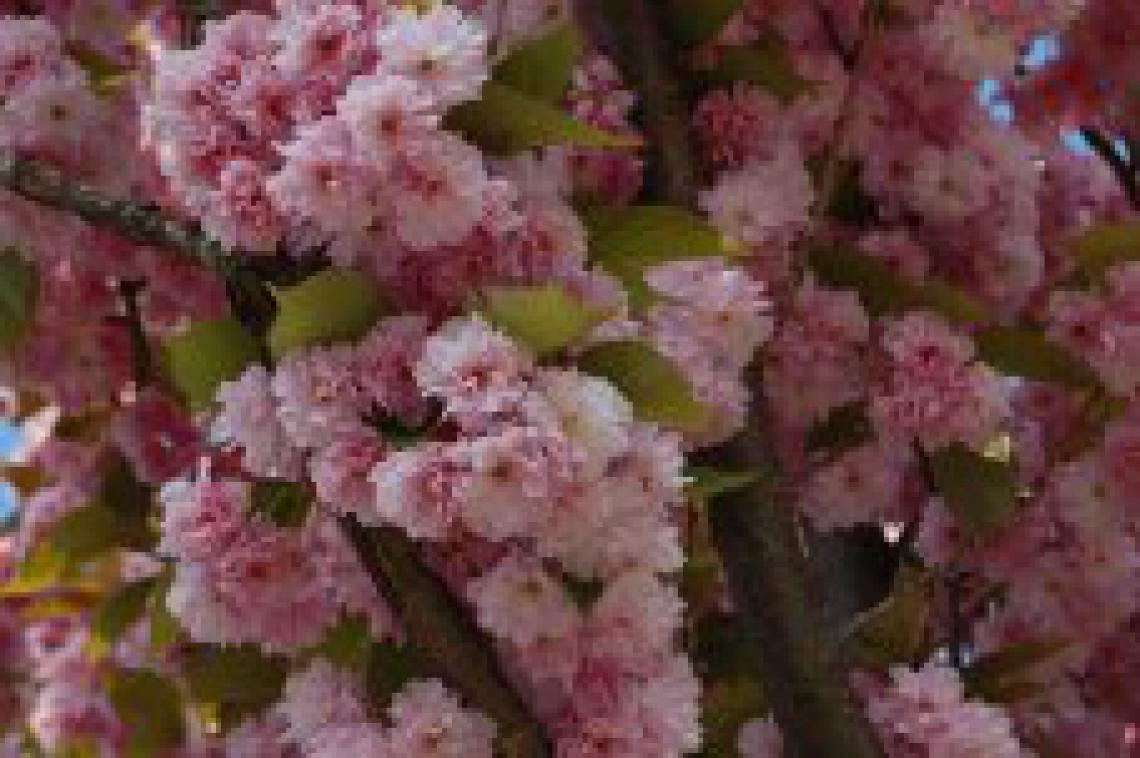 Prunus incisa Frilly Frock - photo 58