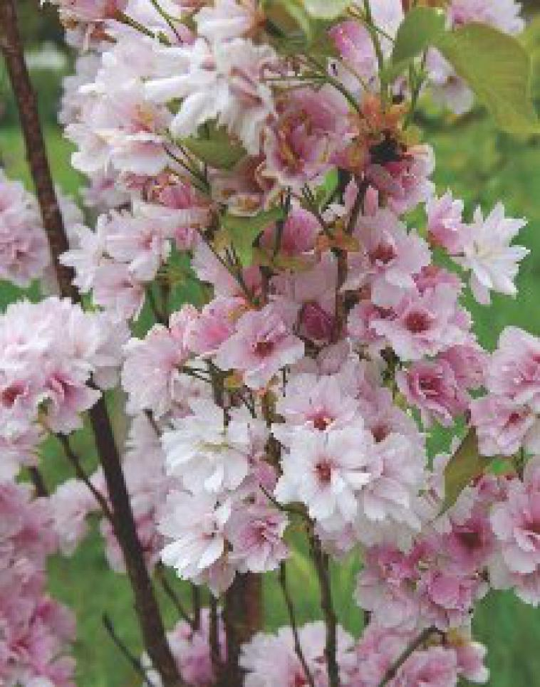 Prunus incisa Frilly Frock - photo 60
