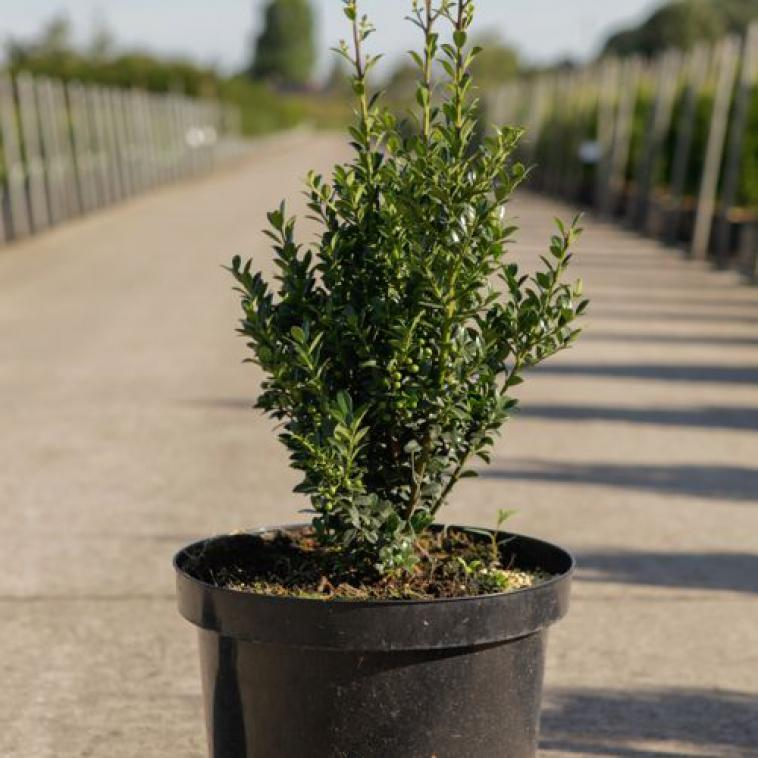 Euonymus fortunei BLONDY - photo 60