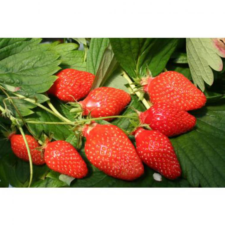 Fragaria v. Gariguette - photo 54