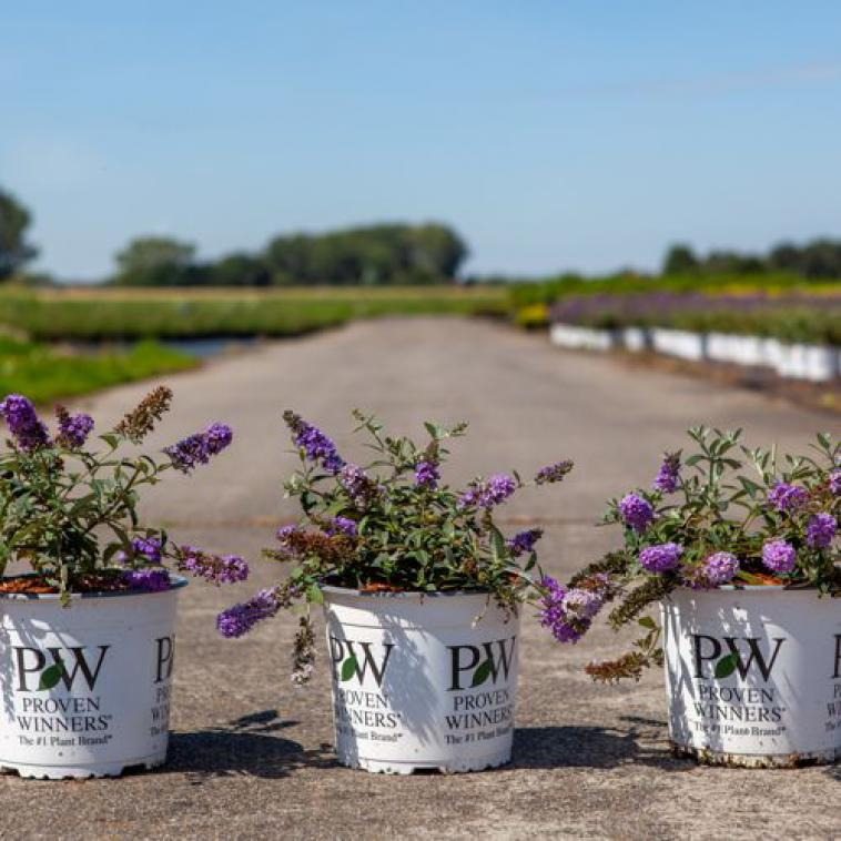 Buddleja davidii LILAC CHIP Proven Winners® (PBR) - photo 54