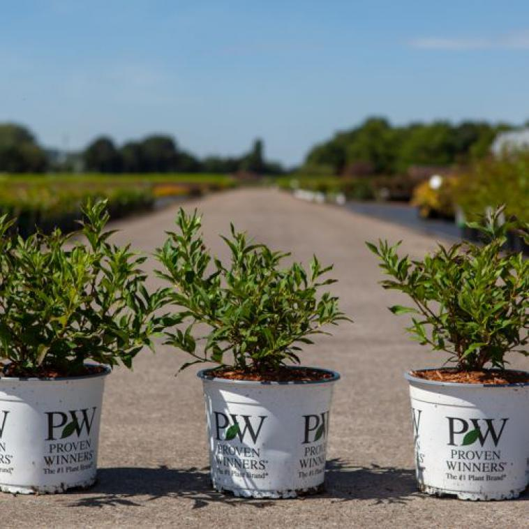 Deutzia YUKI SNOWFLAKE Proven Winners® (PBR) - photo 53