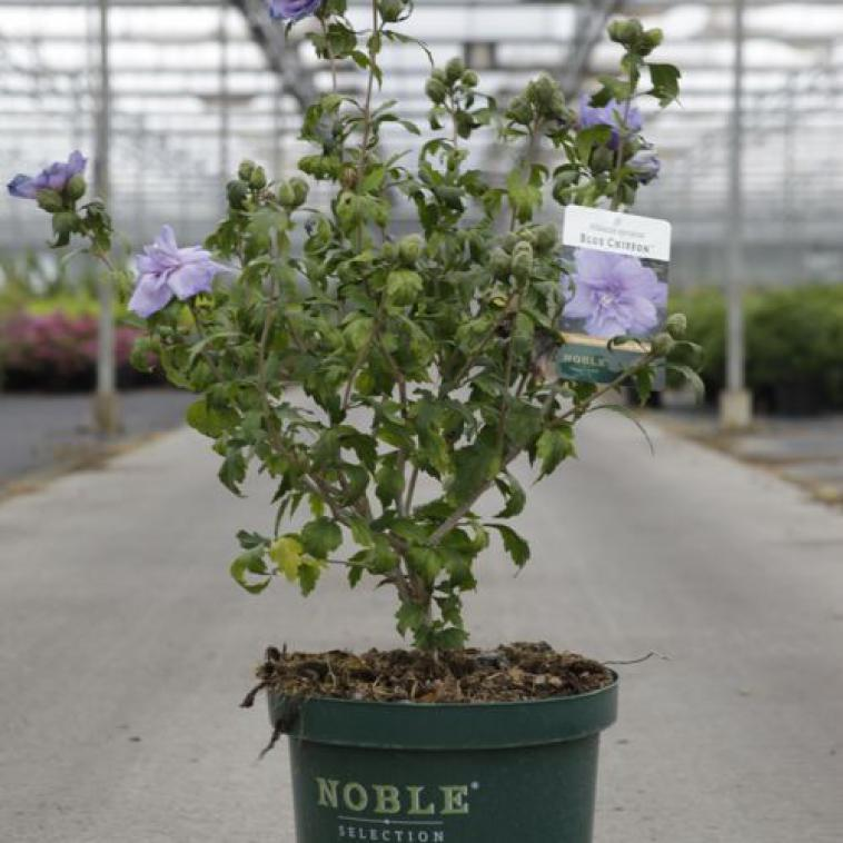 Deutzia YUKI SNOWFLAKE Proven Winners® (PBR) - photo 57