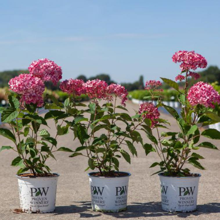 Hydrangea arborescens RUBY ANNABELLE Proven Winners® (PBR) - photo 53