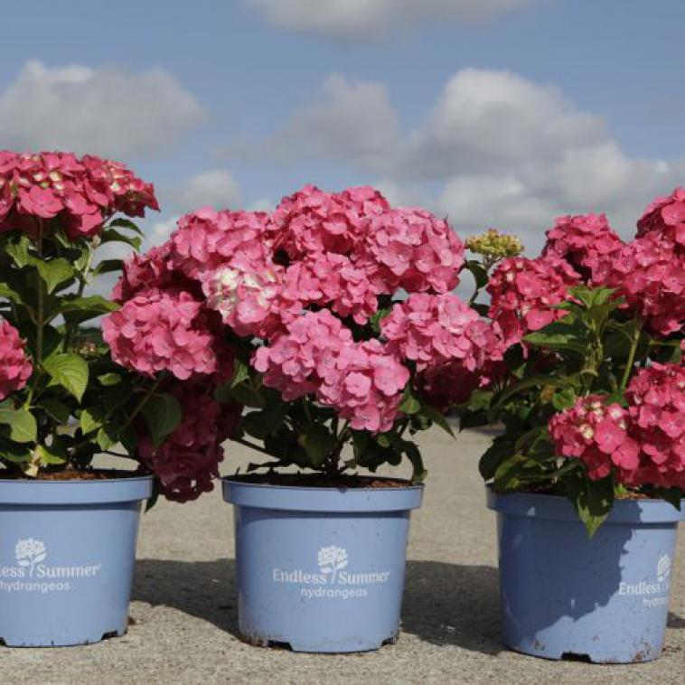 Hydrangea macrophylla Endless Summer® SUMMER LOVE - photo 53