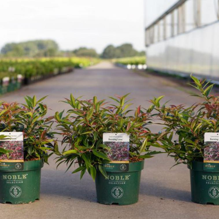 Deutzia YUKI SNOWFLAKE Proven Winners® (PBR) - photo 59