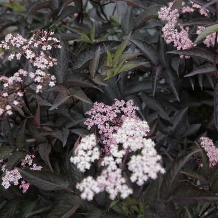 Hydrangea arborescens RUBY ANNABELLE Proven Winners® (PBR) - photo 57