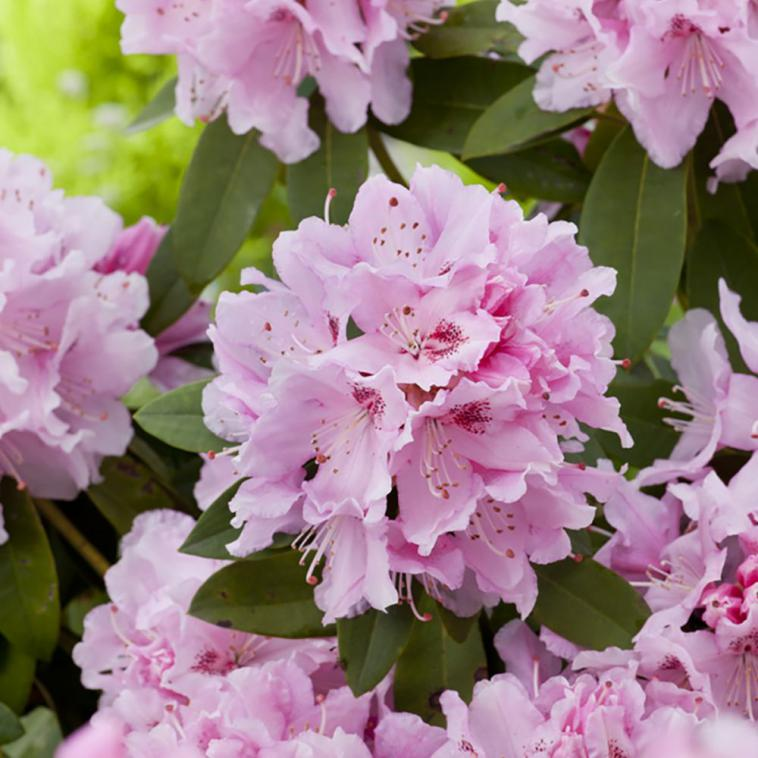 Rhododendron (AJ) 'Blaauw's Pink' - photo 57