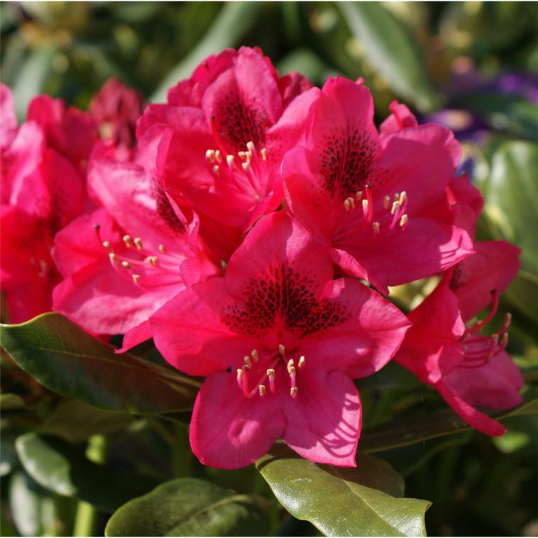 Rhododendron 'Nova Zembla' - photo 54